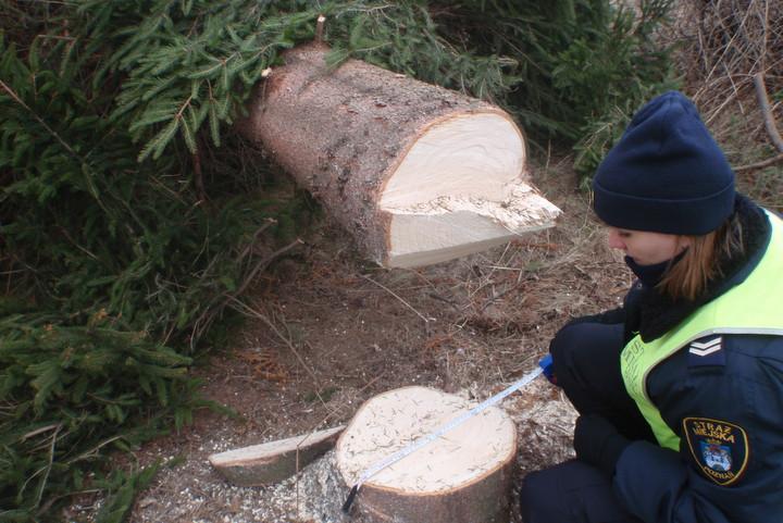 wycinka drzew na podolanach (2) - Straż Miejska Poznań