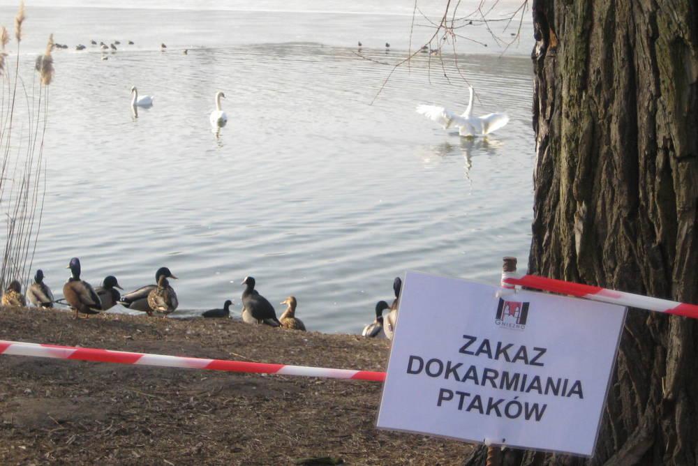 ptasia grypa ptaki kaczki łabędzie nad jeziorem (2) - Rafał Muniak