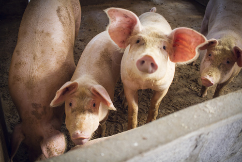 świnie - Fotolia