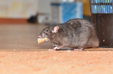 szczur - Fotolia