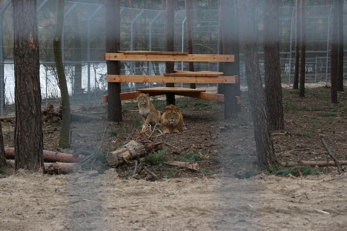 lwiarnia zoo poznań lwy - Kacper Witt