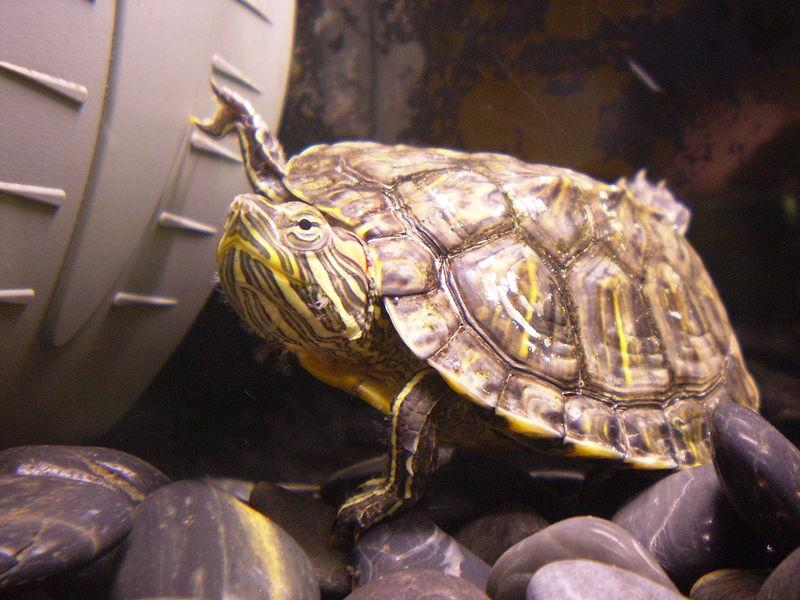 Żółw czerwonolicy - Surtsicna/CC Wikipedia