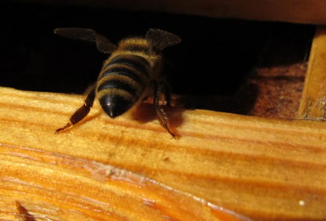 pszczoła 1 - TomFoto