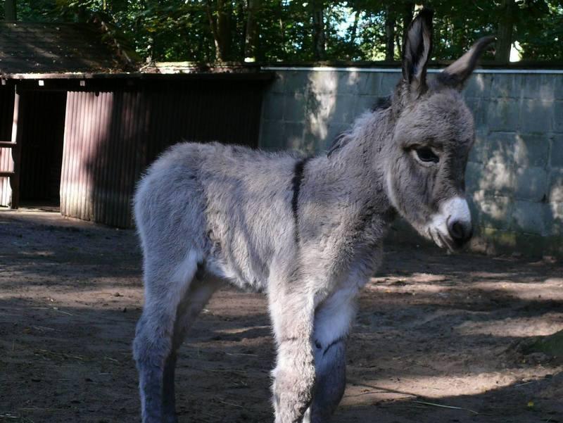 george osioł - Zoo Poznań