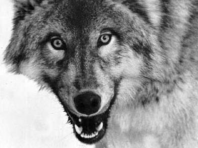Wilk europejski - Lasy Państwowe