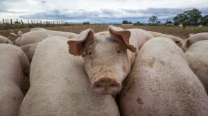 Afrykański pomór świń zbliża się do Wielkopolski