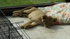 Dlaczego policja odebrała lwy?