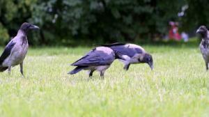 Jak pozbyć się ptaków z miasta?