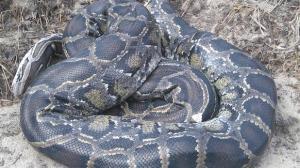 W pobliżu mostu znaleziono... martwego węża