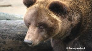 Dwa niedźwiedzie przyjechały do Poznania