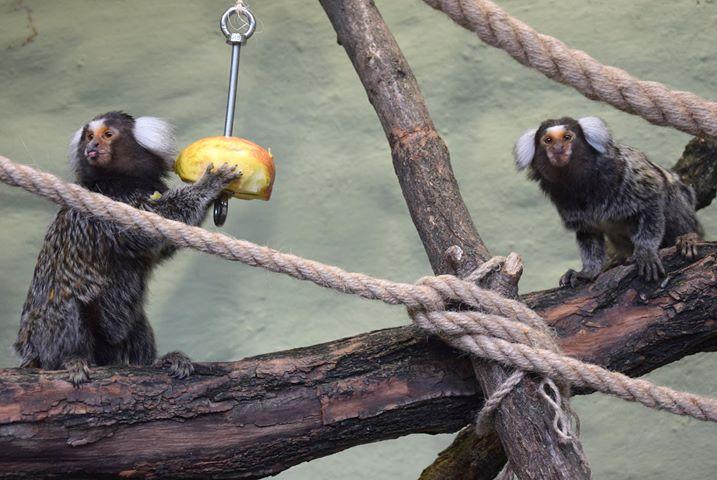 stare zoo małpy - Stare ZOO