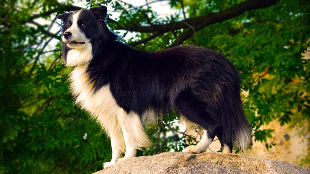 border collie zawody pasterskie rogalin - fotolia