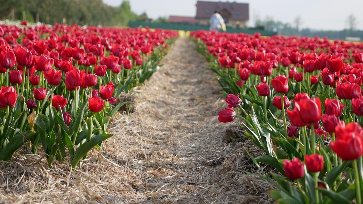 tulipany chrzypsko wielkie - Kacper Witt