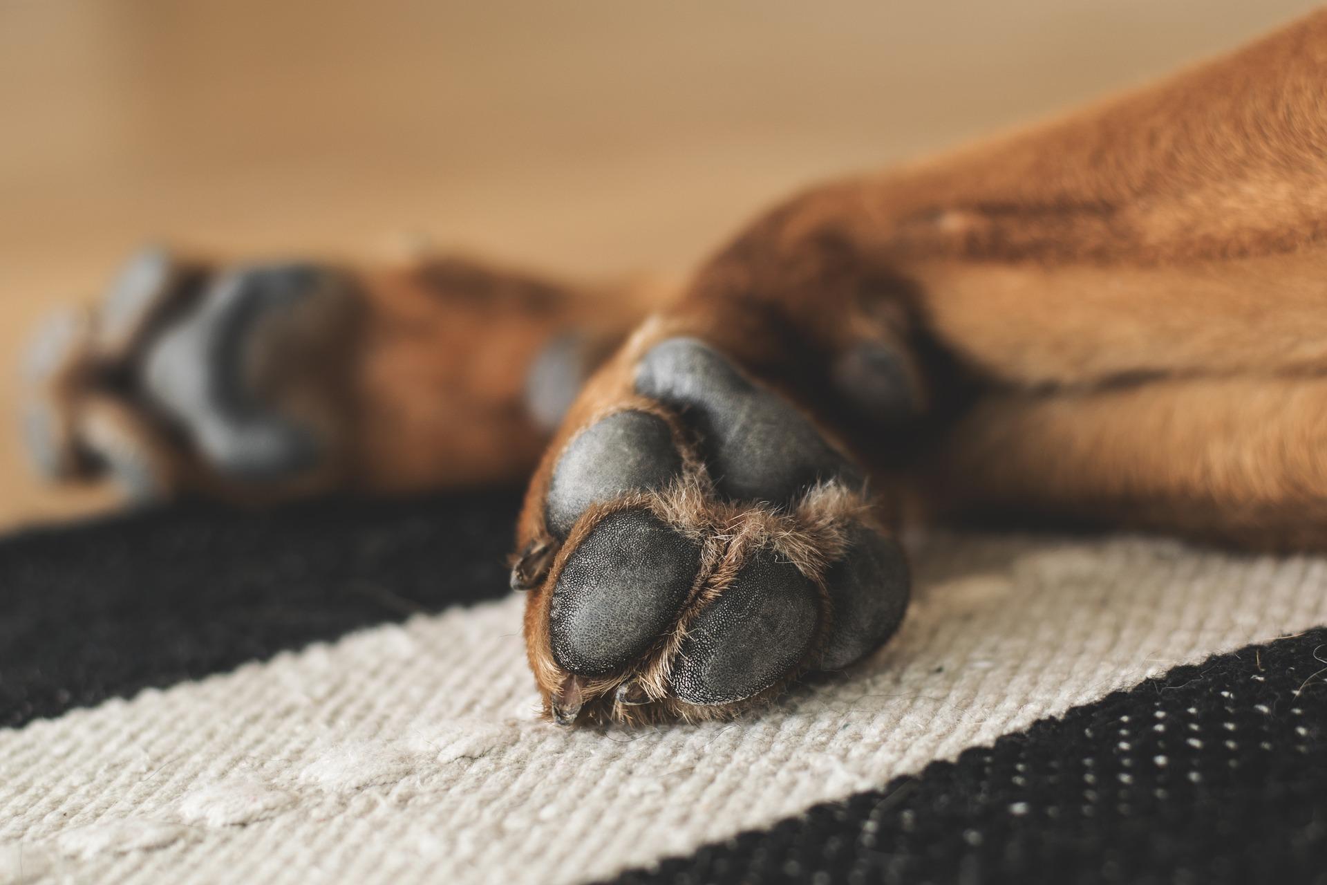 pies łapy psa - pixabay