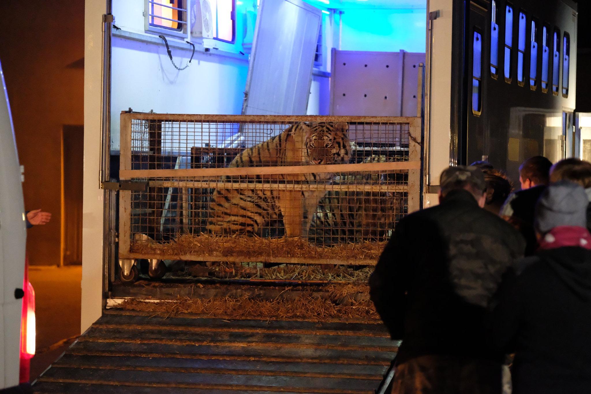 tygrysy poznańskie zoo - ZOO w Poznaniu