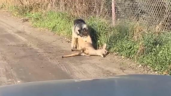 husky pies gniezno  - Facebook