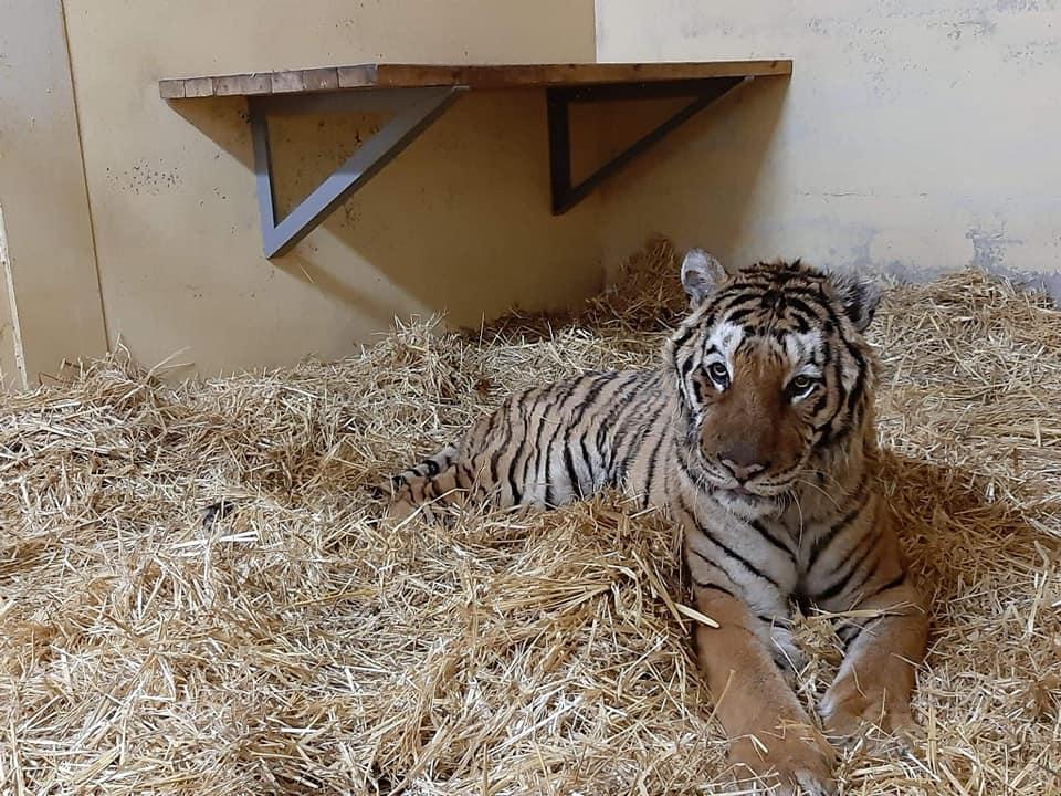 tygrys gogh zoo poznań - ZOO Poznań