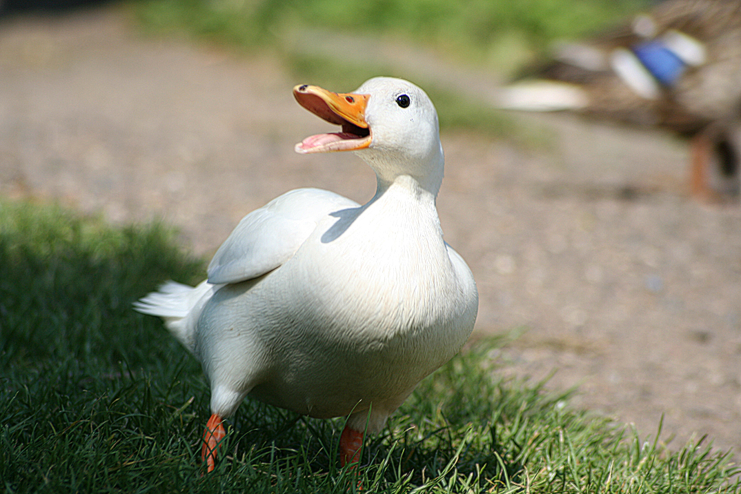 kaczka hodowlana - Wikipedia