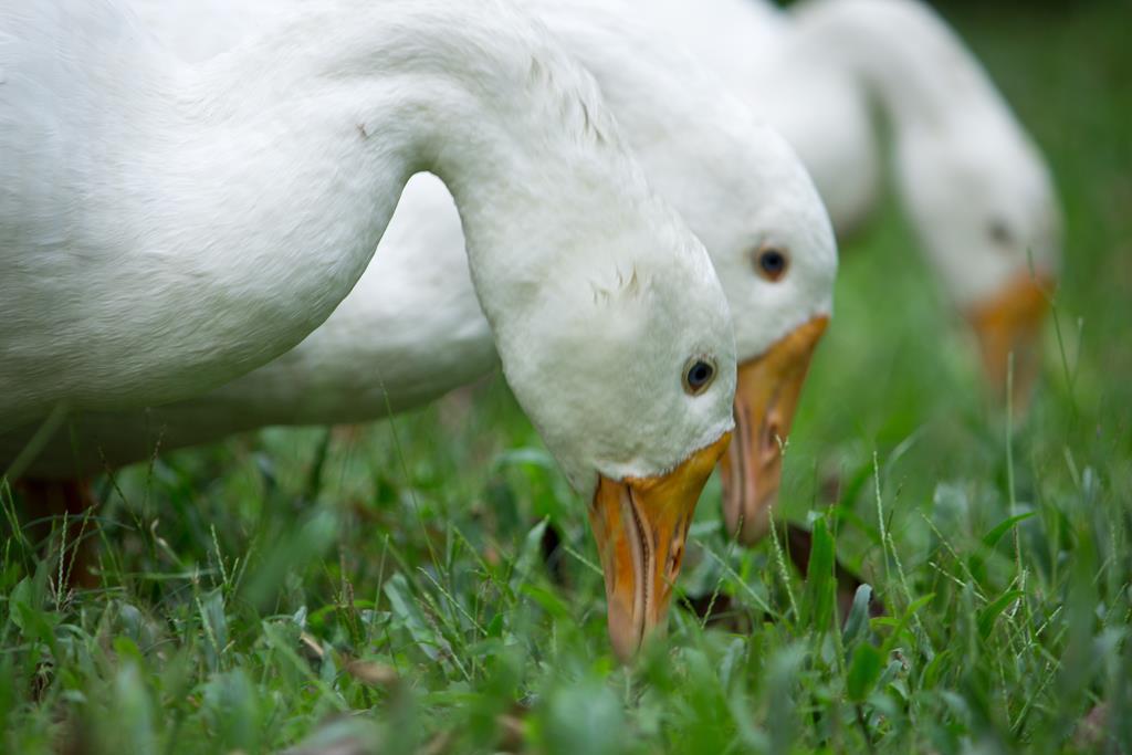 ptasia grypa kaczki - Pexels