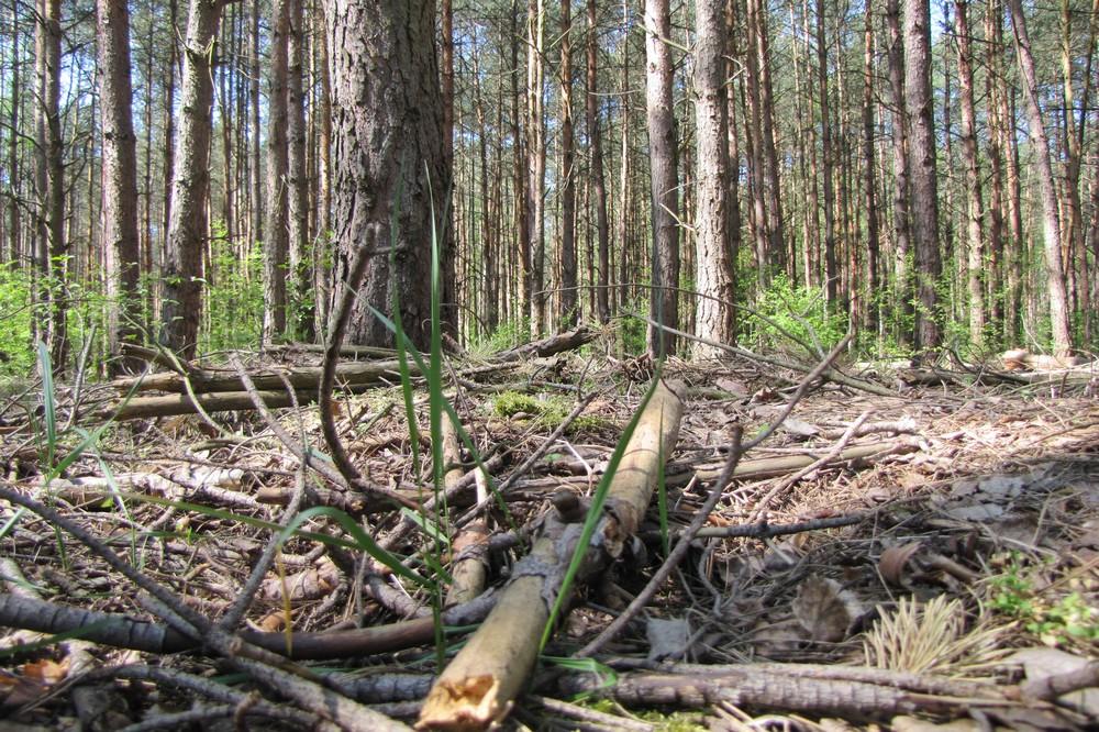 susza w lesie las  - Leon Bielewicz