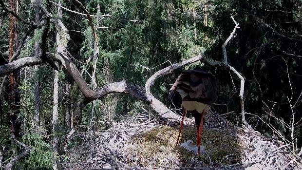 bocian czarny sieraków  - YT: Komitet Ochrony Orłów