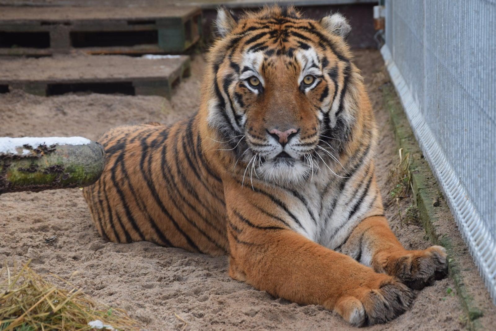 nowy wybieg dla tygrysów zoo poznań - ZOO Poznań