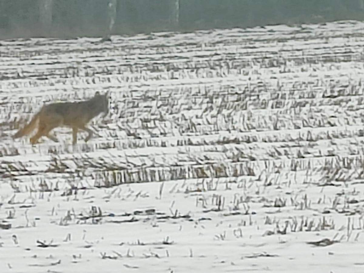 wilki garby porywają psy  - Mieszkańcy