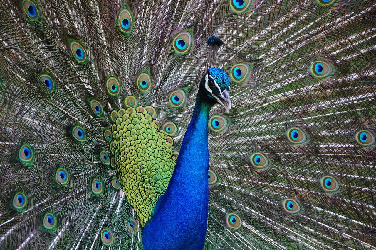 paw pawie  - Pixabay