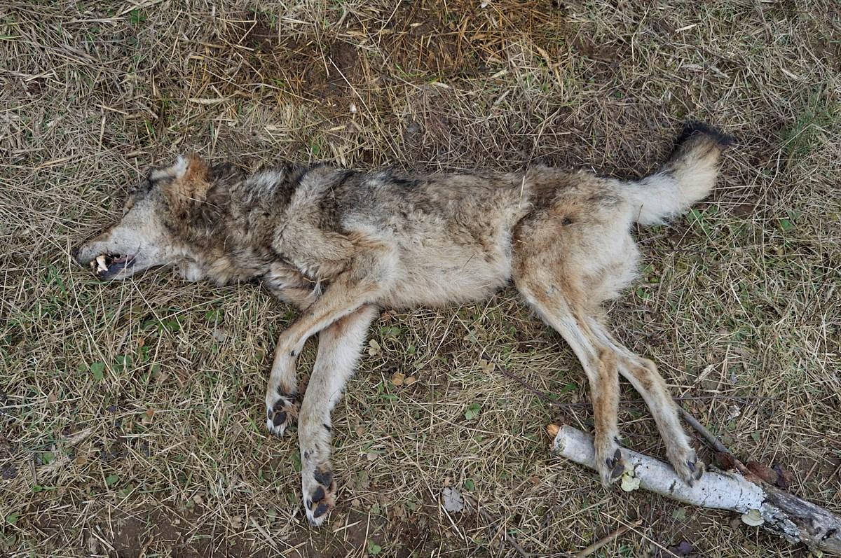 martwy wilk Nadleśnictwo Bolewice - Nadleśnictwo Bolewice