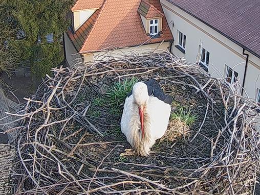 pierwszy bocian gniazdo przygodzice  - www.bociany.przygodzice.pl