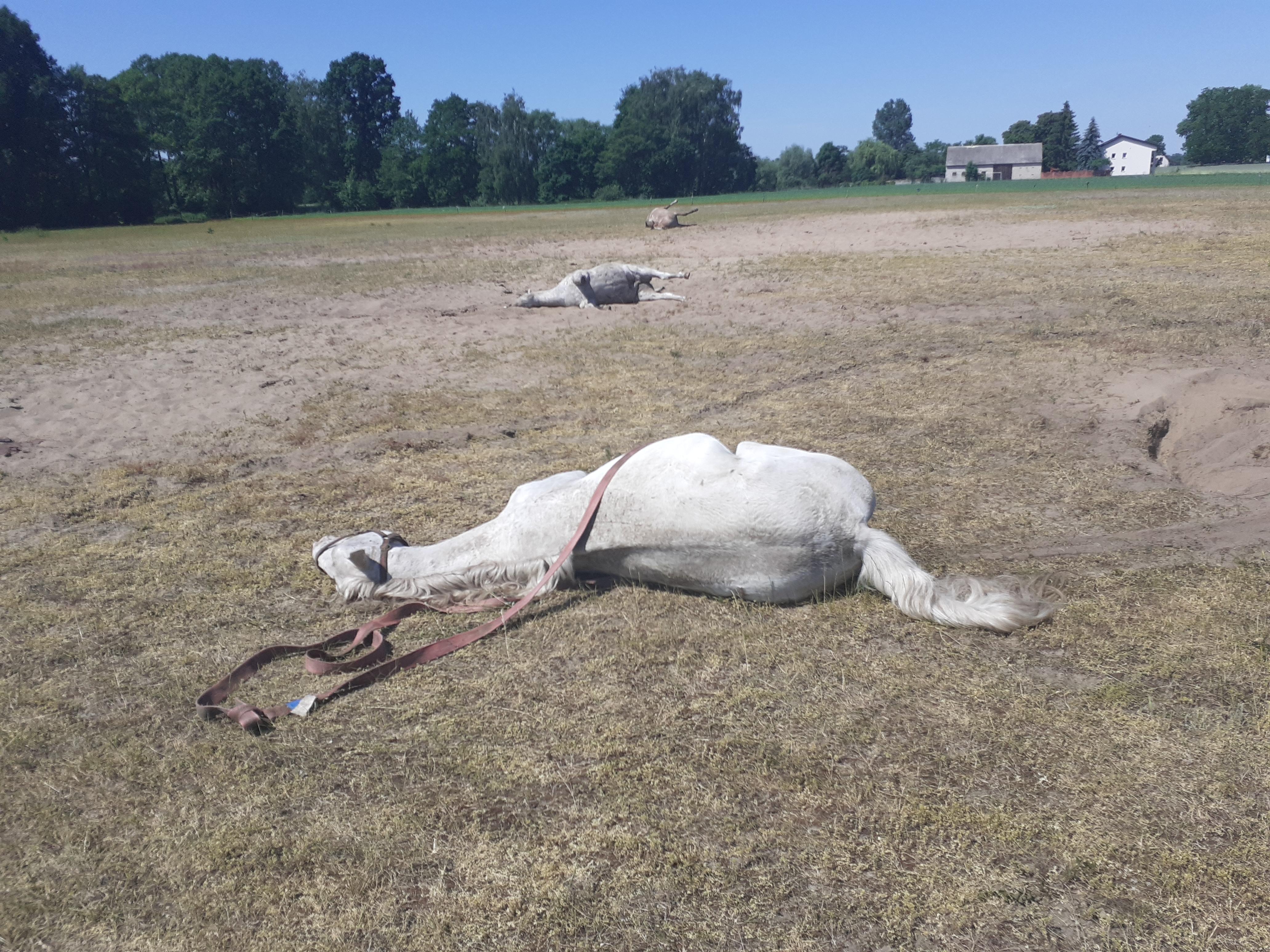 martwe konie kościelec  - Ochotnicza Straż Pożarna w Trzęśniewie