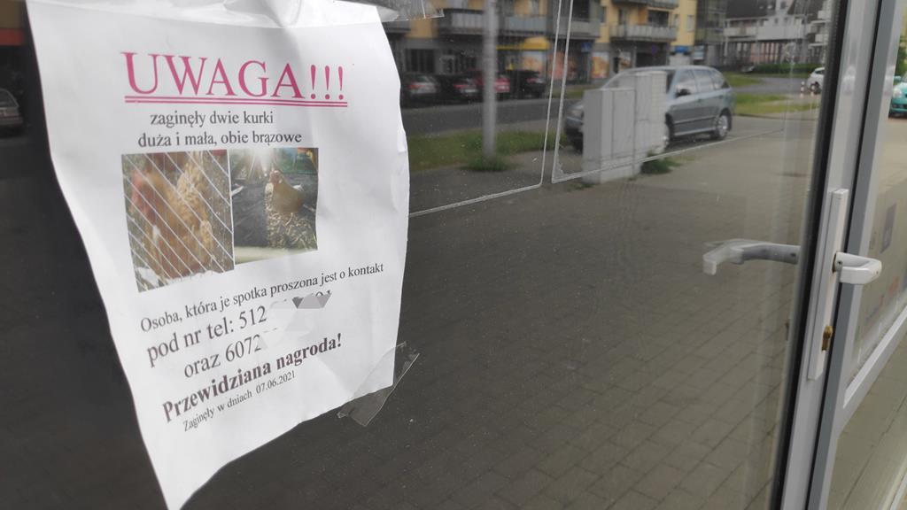 ogłoszenia kury miniaturki  - Przemysław Stochaj