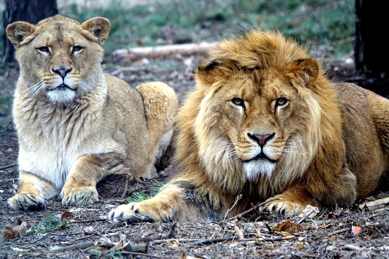 kizia i leoś lwy zoo poznań  - Zoo Poznań