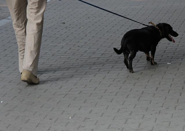 pies na smyczy - TomFoto