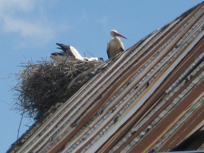 Bociany na dachu - Wiesława Pinkowska