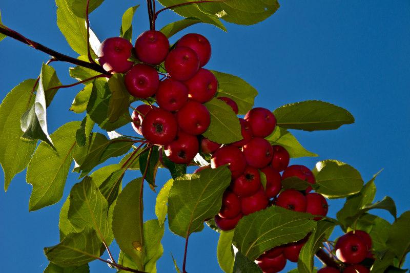 jabłka - TomFoto