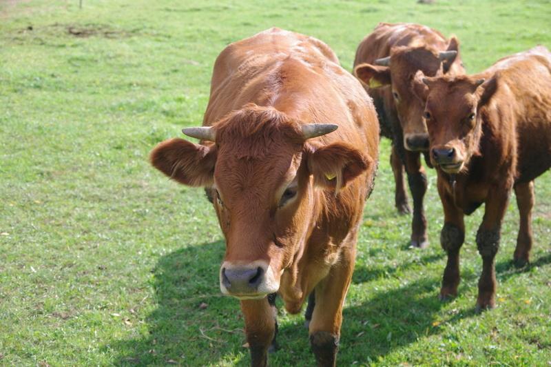 cielaki cielęta krowy - Archiwum
