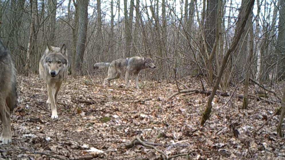 Волки в Познани нападают на собак и подходят ближе к людям